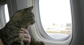 Portare il gatto in aereo, le regole da seguire