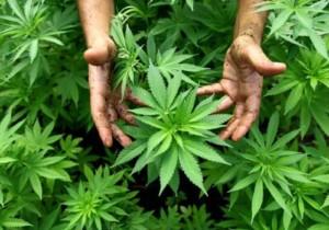 CBD: prodotti derivati dalla cannabis perfetti per la salute
